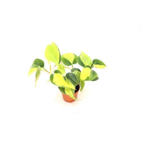 "Philodendron scandens ""Brazil"" panaché"