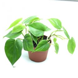 "Philodendron scandens ""Brazil"""