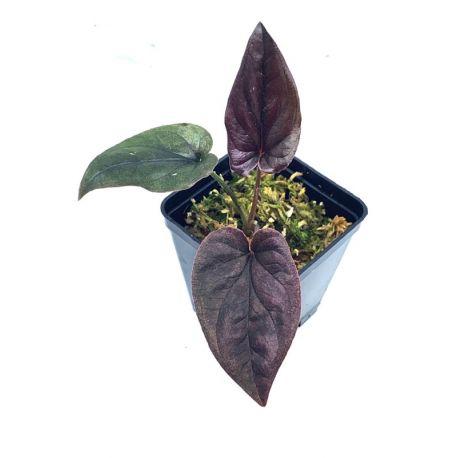 Syngonium erythrophyllum 'Llano Carti road'