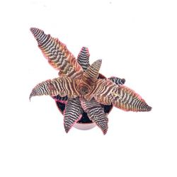 Cryptanthus zonatus - Pot 9cm
