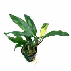 Anubias Minima Variegated - Plante Aquatique Rare