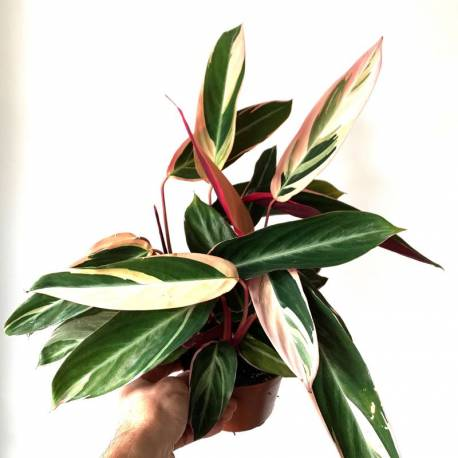 Calathea Triostar - Calathea Tricolore - Calathea Plume de Paon