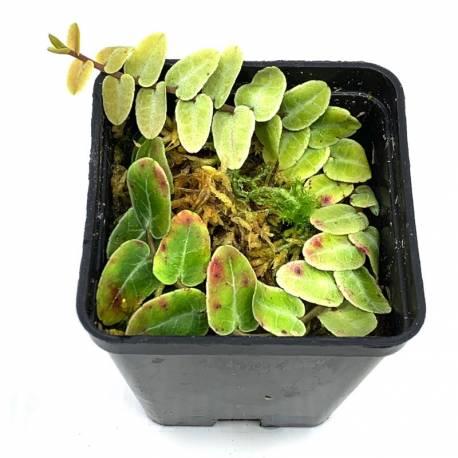 Marcgravia Umbellata - shingling plant