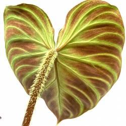Philodendron verrucosum - Plante rare de décoration d'intérieur