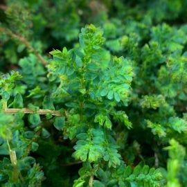 Selaginella uncinata - Fougère Tropicale à Frondes Colorées