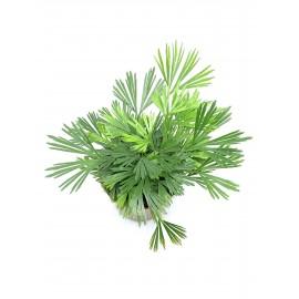 Actiniopteris australis - Fougère pour terrarium tropical