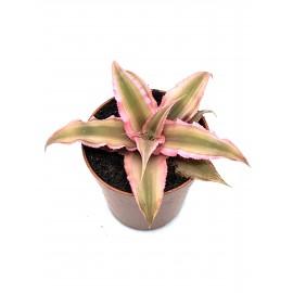 Cryptanthus bivittatus Pink Starlight - étoile terrestre