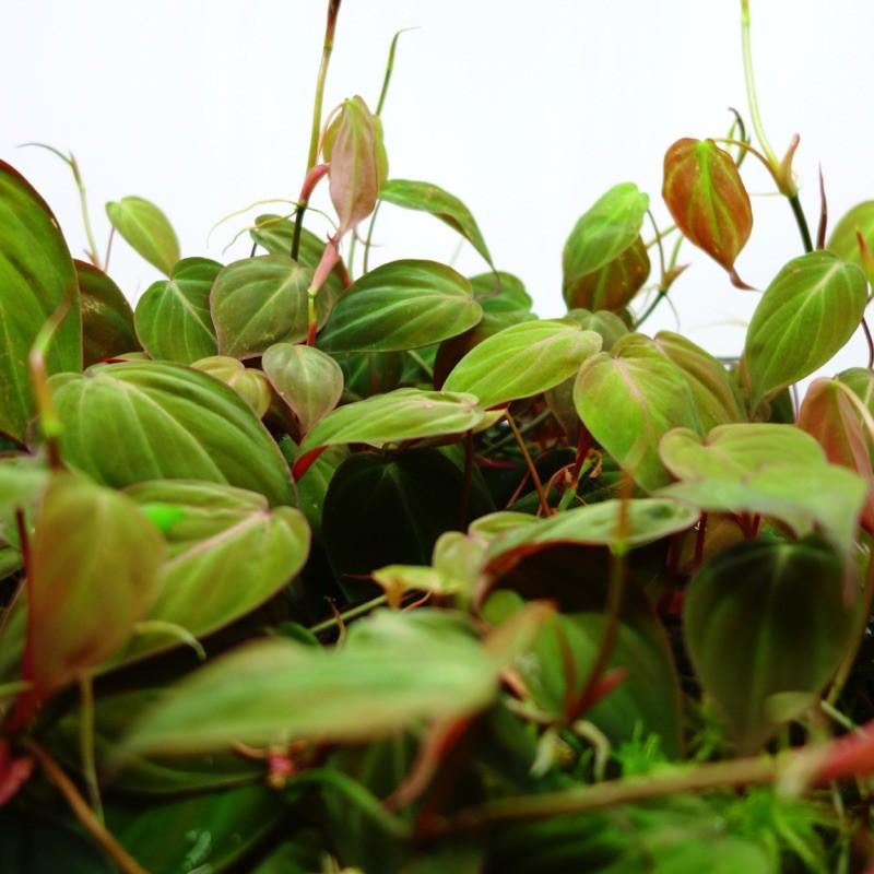 Philodendron micans - Plante tropicale pour terrarium