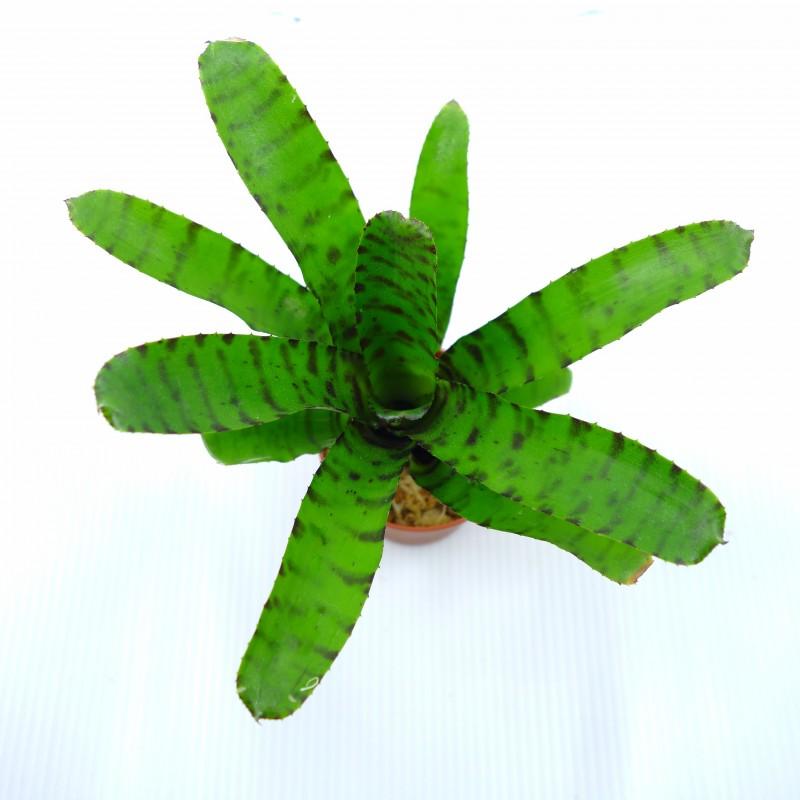 Neoregelia tigrina - Plante épiphyte idéale pour Terrarium à Dendrobates