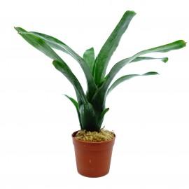 Neoregelia memorgenroethe - Plante épiphyte idéale pour Terrarium à Dendrobates