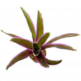Neoregelia pink - Plante épiphyte idéale pour Terrarium à Dendrobates