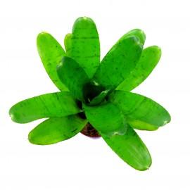 Neoregelia punctatissima - Plante épiphyte idéale pour Terrarium à Dendrobates