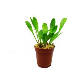 Platystele misera - Orchidée épiphyte miniature