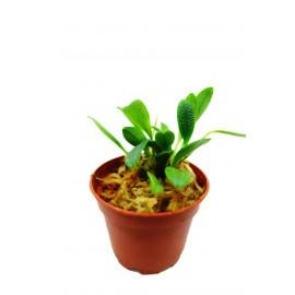 Porroglossum schramii - Orchidée épiphyte miniature