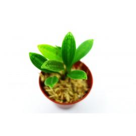 Porroglossum dactylum - Orchidée miniature épiphyte