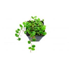 Pyrrosia nummularifoliaPyrrosia nummularifolia - Fougère épiphyte à rhizome traçant