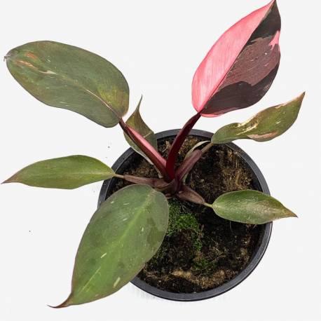 Philodendron Pink Princess - Plante rare de décoration d'intérieur