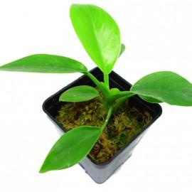 Philodendron erubescens Imperial Green - Plante verte de décoration d'intérieur