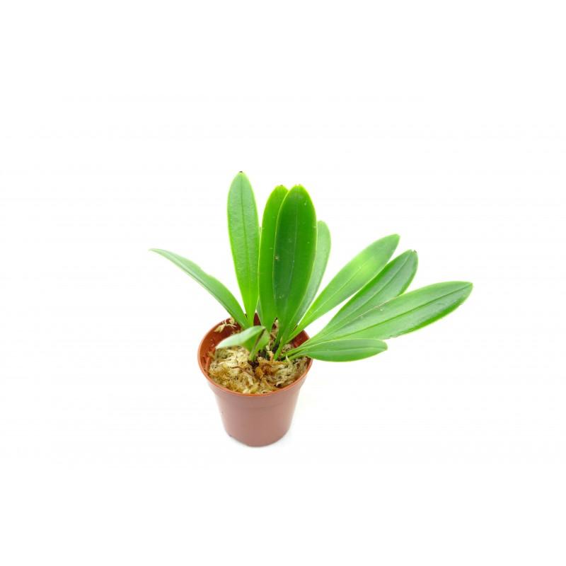 Stelis ciliaris - Orchidée botanique