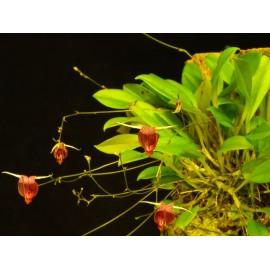 Scaphosepalum digitale - Orchidée botanique miniature spéciale terrarium