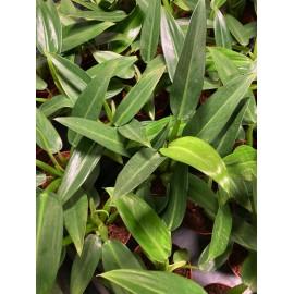 Philodendron martianum Fatboy en production - Plante rare
