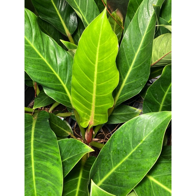 Philodendron martianum Fatboy Yellow