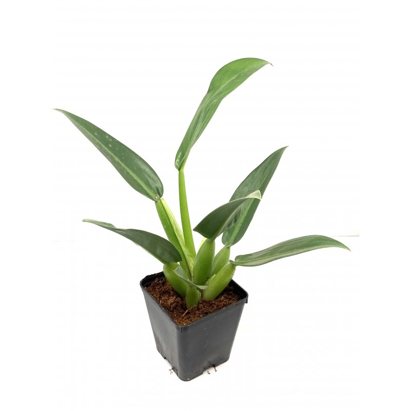 Philodendron martianum Fatboy