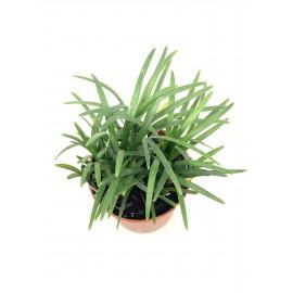 Ophiopogon japonicus -...