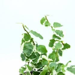 Ficus pumila White Sunny - Plante rampante pour terrarium / composition végétale