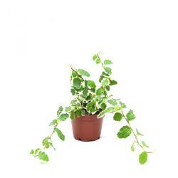 Ficus pumila White Sunny - Ficus repens - Figuier nain
