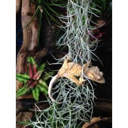 Tillandsia usneoïdes - Belle touffe d'environ 50cm de long