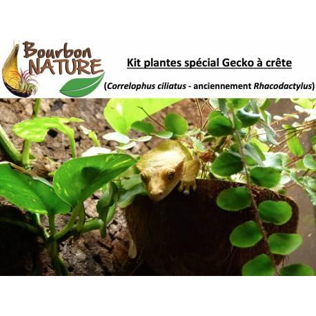 Pack plantes Gecko à crête - 45x45x60cm