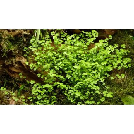 Soleirolia soleirolii - plante rampante idéale en terrarium