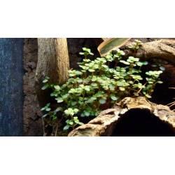"Pilea glauca ""Aquamarine"" dans un terrarium pour Gecko à crête"