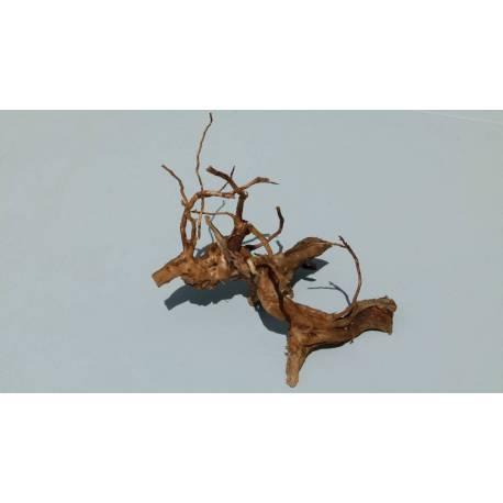 Racine Araignée - racine asia