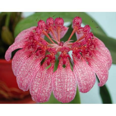 Bulbophyllum Eberhardtii Günther