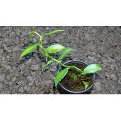 Vanilla planifolia variegata - orchidée liane