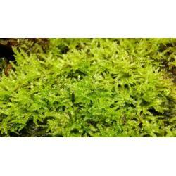 Mousse de Java - Vesicularia dubyana mousse tropicale décorative pour terrarium, paludarium, aquarium