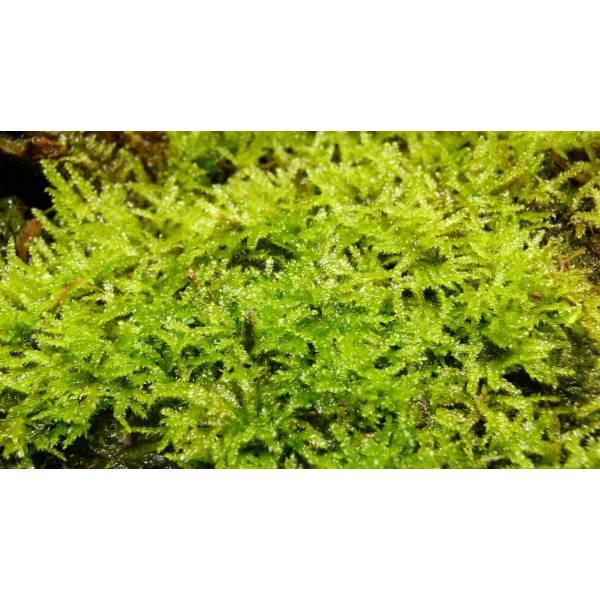 Mousse de java vesicularia dubyana bourbon nature for Aquarium en solde