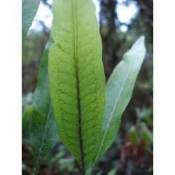 Microgramma squamulosa fougère rare rampante - rare fern
