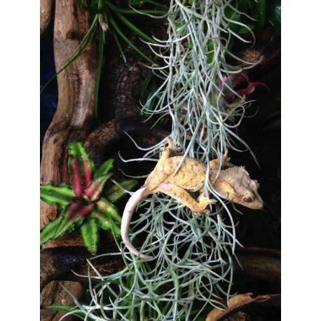 Ma femelle  Gecko 'Mog' en plein exercice dans un Tillandsia usneoides