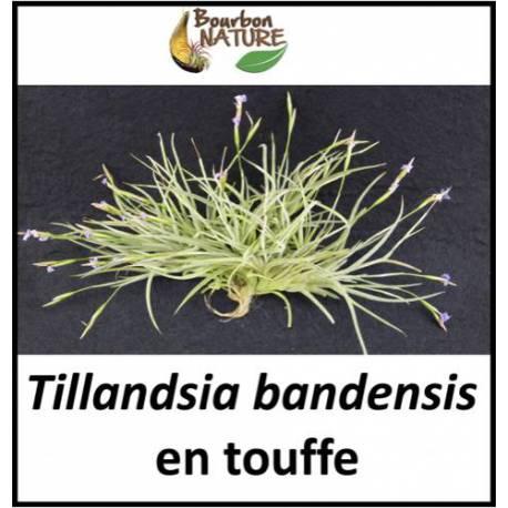 Tillandsia bandensis