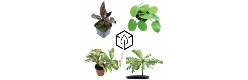 Plante tropicale pour d coration d 39 int rieur de terrairum - Plante tropicale d interieur ...