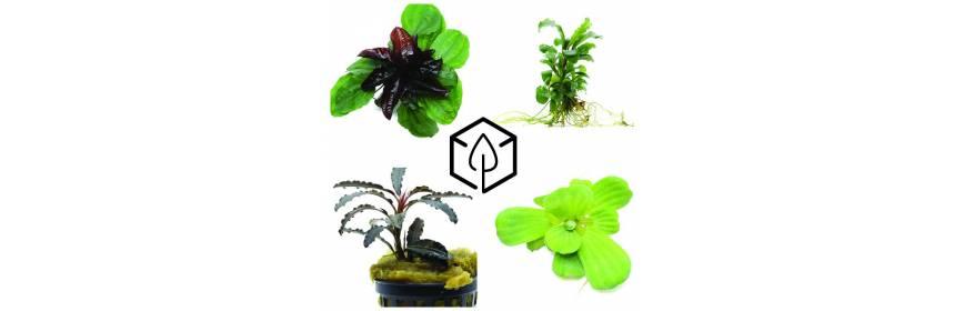plantes aquatiques plantes semi aquatiques et plantes de paludarium bourbon nature. Black Bedroom Furniture Sets. Home Design Ideas