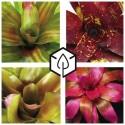 Neoregelia - Cryptanthus - Billbergia et Aechmea