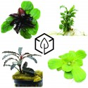 Plante aquatique  - Plante de paludarium et Mousse tropicale