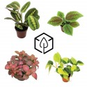 Plantes à feuillage coloré