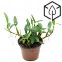 Maxillaria