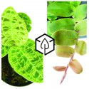 Plantes Rares (Philodendron, Marcgravia, Vanille...)